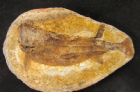 MADAGASCAN TRIASSIC FISH